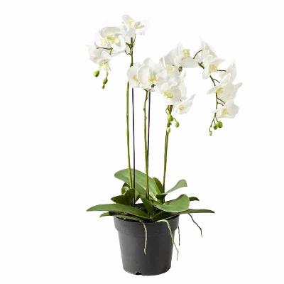 SEIDE ORCHIDEE WURZEL &