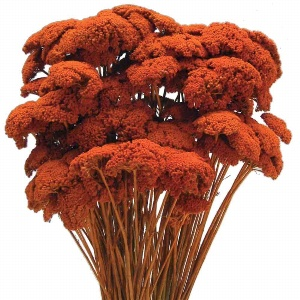 ACHILLEA LOSE ORANGE